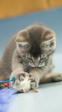 Cat-KittenPlaying-1-1c
